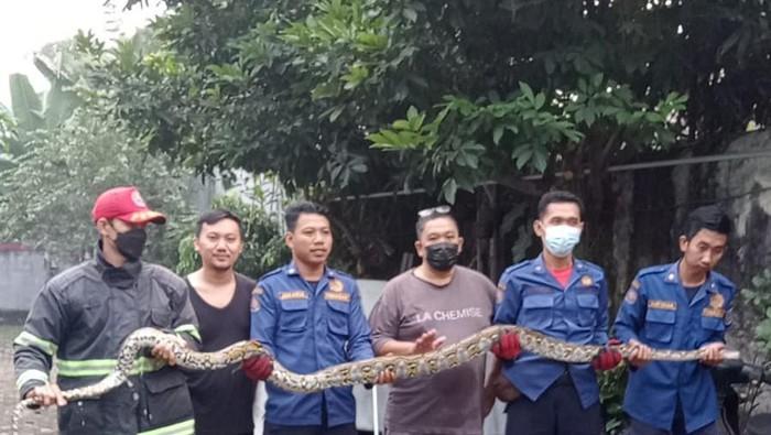 Ular piton 20 kg ditemukan warga Tangsel di atas pohon