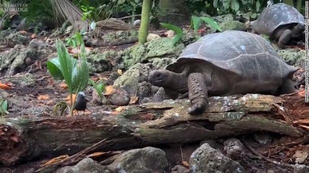 Kura-kura raksasa makan burung