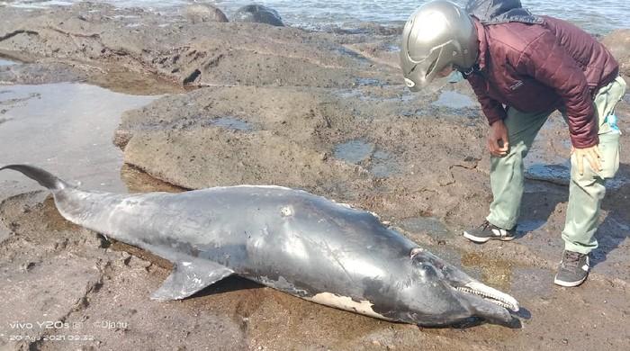 Lumba-lumba penuh luka sayatan ditemukan mati terdampar di Pantai Yeh Leh, Jembrana, Bali. (dok. Istimewa)