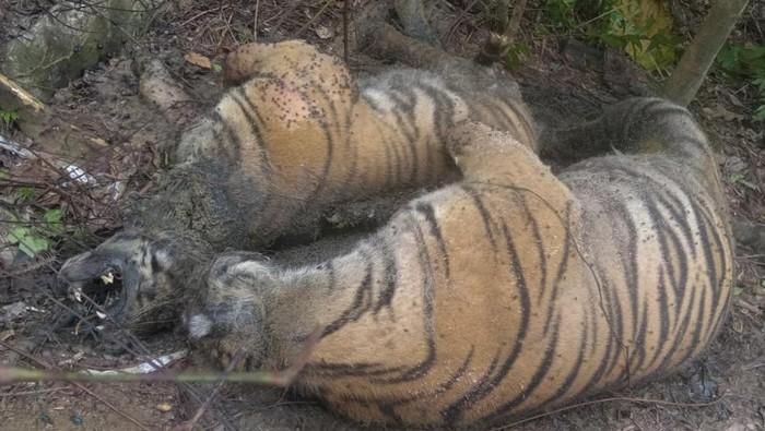 Dua ekor harimau Sumatera (Panthera tigris sumatrae) ditemukan mati di kawasan hutan Gampong Ibuboeh, Kecamatan Meukek, Aceh Selatan, Aceh, Rabu (25/8/2021). Sebanyak tiga ekor Harimau Sumatera yang terdiri dari satu ekor induk harimau dan dua anak harimau (satu betina dan satu jantan) ditemukan mati diduga akibat terkena jeratan babi. ANTARA FOTO/Hasan/Lmo/foc.