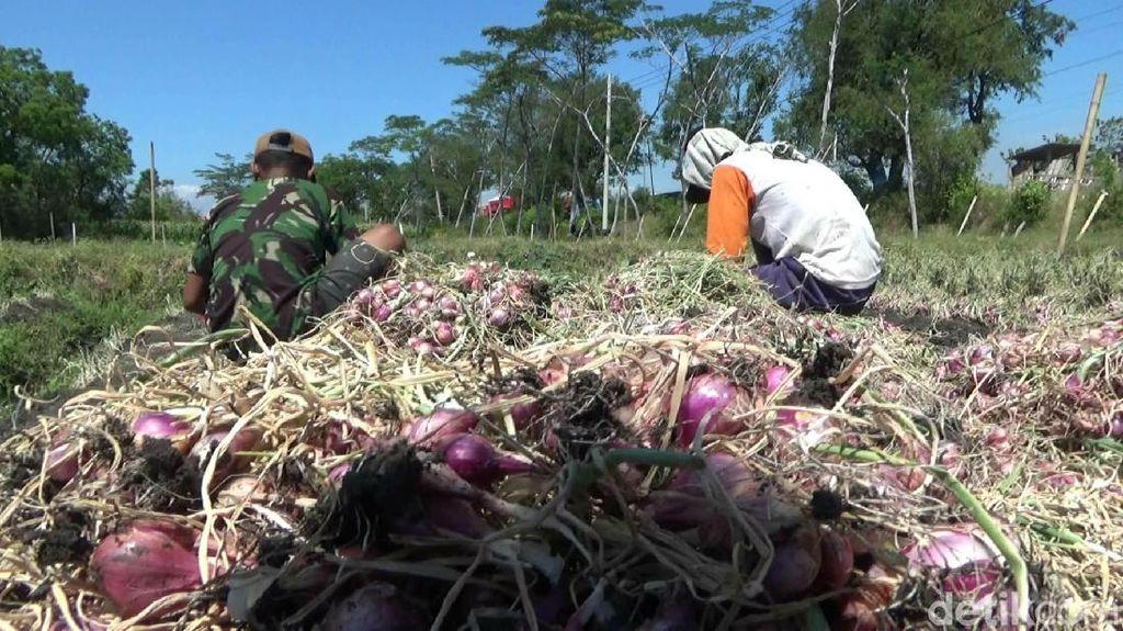 Bawang Diserang Hama Ulat, Petani di Probolinggo Panen Dini Agar Tak Rugi