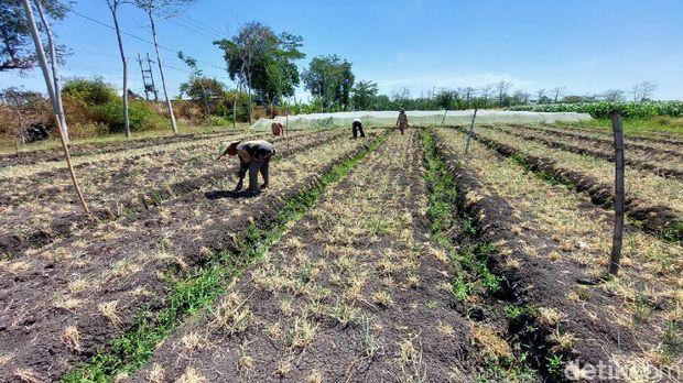 ulat serang tanaman bawang di probolinggo