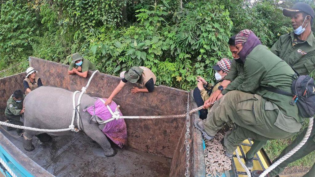 Menengok Evakuasi Anak Gajah Sumatera di Jambi
