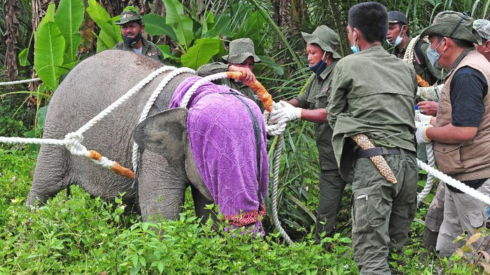 Petugas Balai Konservasi Sumber Daya Alam (BKSDA) Jambi mengevakuasi seekor anak gajah Sumatera (Elephas maximus sumatranus) korban jerat di Tungkal Ulu, Tanjungjabung Barat, Jambi, Rabu (25/8/2021). Balai Konservasi Sumber Daya Alam (BKSDA) Jambi bersama beberapa pihak mengevakuasi seekor anak gajah yang telah tertinggal sendiri dari kelompok besarnya hingga delapan bulan lebih di Tanjungjabung Barat untuk ditranslokasi ke kelompoknya di Bentang Alam Bukit Tigapuluh, Tebo. ANTARA FOTO/Wahdi Septiawan/foc.