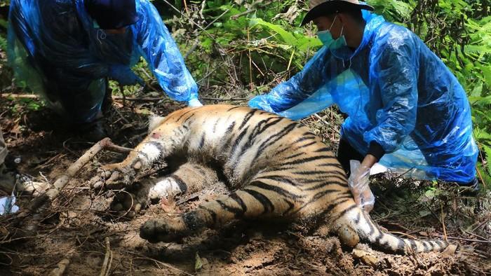 Petugas gabungan dari BKSDA Aceh, Forum Konservasi Leuser (FKL) dan Wildlife Conservation Society (WCS), Polhut dan Personel Kepolisian Polres Aceh Selatan membawa bangkai harimau sumatera yang mati terjerat untuk dievakuasi di Kawasan Ekosistem Leuser (KEL) Desa Ibuboh, Kecamatan Meukek, Aceh Selatan, Aceh, Kamis (26/8/2021). Sebanyak tiga ekor bangkai Harimau Sumatera yang mati di Kawasan Ekositem Leuser (KEL) di evakuasi ke kantor Taman Nasional Gunung Leuser (TNGL) Aceh Selatan untuk penyelidikan lebih lanjut. ANTARA FOTO/Syifa Yulinnas/hp.
