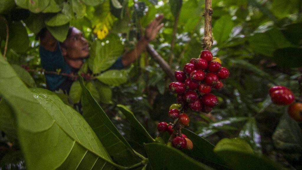 Kopi Robusta hingga Liberika Tumbuh Subur di Pegunungan Meratus