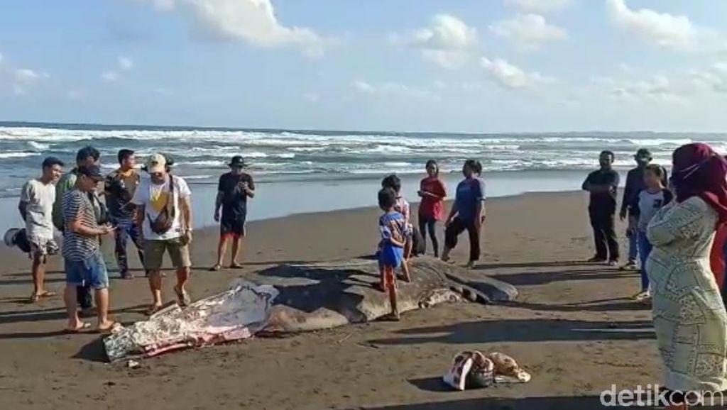 Hiu Tutul Terdampar di Pantai Pangandaran