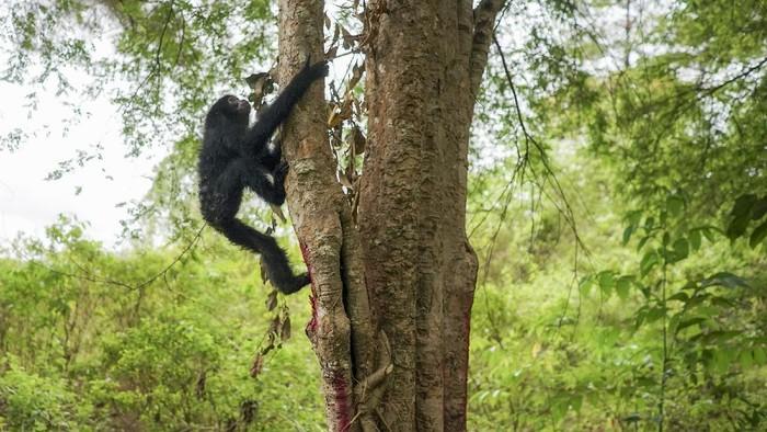 Seekor Owa Lar (Hylobates lar) menaiki pohon usai dilepasliarkan di kawasan hutan taman wisata alam Jantho, Aceh Besar, Aceh, Kamis (26/8/2021). Balai Konservasi Sumber Daya Alam (BKSDA) Aceh melepaskan lima ekor satwa liar dilindungi yakni tiga ekor Owa Siamang (Symphalangus syndactiylus), satu ekor Owa Lar (Hylobates lar) dan satu ekor Kukang (Nycticebus coucang), sebagai upaya menjaga habitat satwa di alam Aceh.  ANTARA FOTO/Khalis/Lmo/hp.