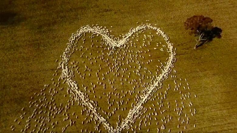 So Sweet, Domba Dibariskan Membentuk Hati untuk Orang Terkasih