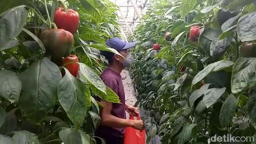 Kisah Petani di Pasuruan, Raup Cuan dari Menanam Paprika