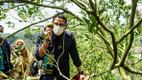 Selain memiliki desa wisata adat, salah satu komoditas utama yang menjadi sumber ekonomi warga ada pada sektor perkebunan, khususnya perkebunan Jeruk Siam Gunuang Omeh yang khas. Hampir di setiap rumah penduduk di Sarugo punya kebun jeruk. (Jeka Kampai/detikTravel)