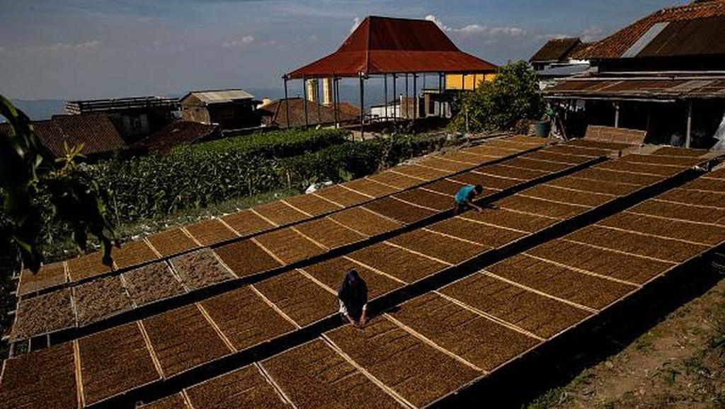 Petani Tembakau Geruduk Istana, Tolak Cukai Tahun Depan Naik