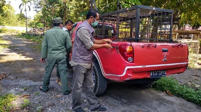BKSDA Riau Turunkan Tim Evakuasi Harimau yang Tewaskan Remaja di Siak