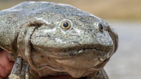 Lipatan kulit itu berfungsi untuk menyerap oksigen ketika katak-katak tersebut berada di dalam air. Kemampuan bertahan katak skrotum di dalam air pun jauh lebih lama dibandingkan spesies katak lainnya.