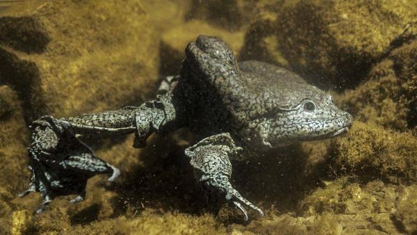 Katak skrotum hidup di Danau Titicaca, danau tertinggi di dunia. Kondisi itu membuat katak skrotum memiliki kelebihan mampu beradaptasi dengan tingkat oksigen yang sangat tipis. Kulit mereka bisa menarik oksigen lebih banyak selama mereka berada di dalam air danau. (Roberto Elias/BBC)
