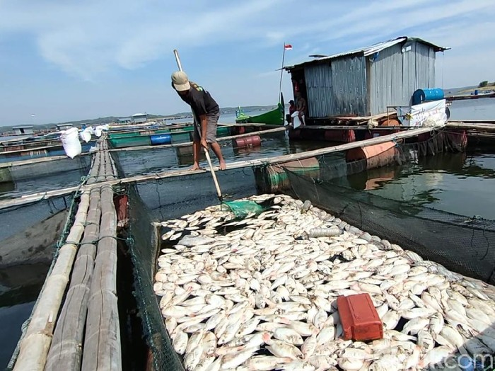 Puluhan ton ikan budidaya di Waduk Kedungombo, Sragen, mati mendadak, Senin (30/8/2021).