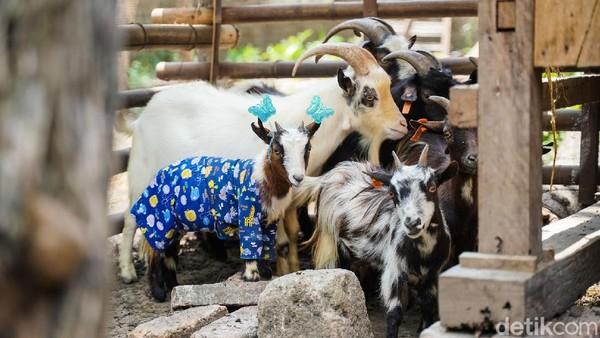 Pigmy goat atau kambing mini asal Cameron Afrika ini terlihat sangat lucu dan menarik jika dilihat karena tubuhnya yang kecil.