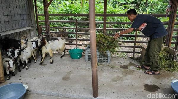 Awalnya Dwi mendapat kambing tersebut hibah dari temannya. Setelah di kembang biakan saat ini banyak yang tertarik untuk membeli dan memeliharanya.