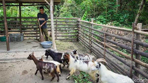 Untuk mendapatkan kambing mini saat ini belum ada harga yang pasti karena masih dalam proses pengembangbiakan.