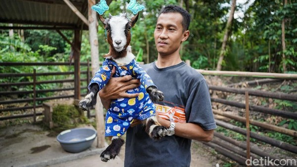 Begini penampakan kambing mini yang dikembangbiakan di Desa Argorejo, Kecamatan Sedayu, Kabupaten Bantul, Yogyakarta.