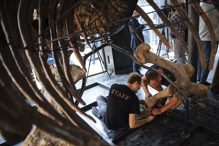 Big John, the largest known triceratops skeleton is being assembled in a showroom in Paris, Tuesday, Aug. 31, 2021. Before being put up for auction on October 21, Big John, the skeleton of a giant Triceratops more than 66 million years old, will be on display. Estimated between €1,200,000 and €1,500,000, this remarkable specimen will be the centerpiece of the Naturalia auction organized by Alexandre Giquello at Drouot. (AP Photo/Lewis Joly)