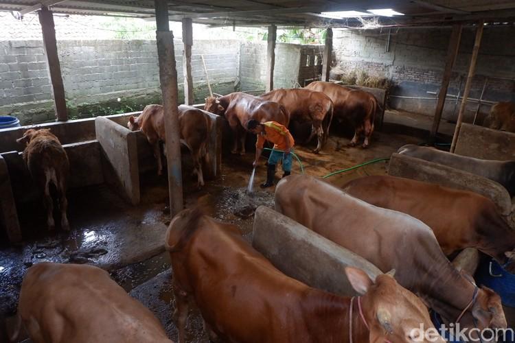Warga di Desa Karangjambe, Banjarnegara, memanfaatkan kotoran sapi jadi biogas, Selasa (31/8/2021).