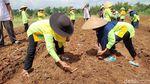 Cara Pemkab Ciamis Dorong Pendapatan Petani lewat Jagung Kristal