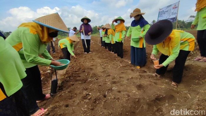 Pemkab Ciamis launching demplot penanaman jagung kristal di Kelurahan Sindangrasa, Kecamatan Ciamis, Jawa Barat.