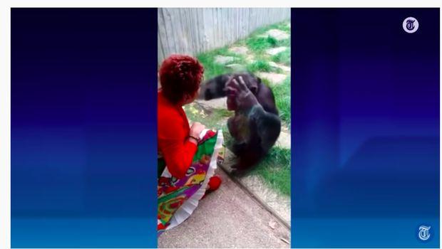 Cinta Simpanse dan Manusia
