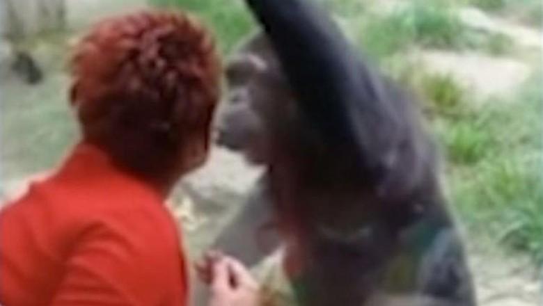 cinta terlarang manusia-simpanse