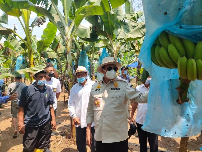 Gubernur Banten Ungkap Potensi Kebun Pisang Lebak Seluas 12 Hektare