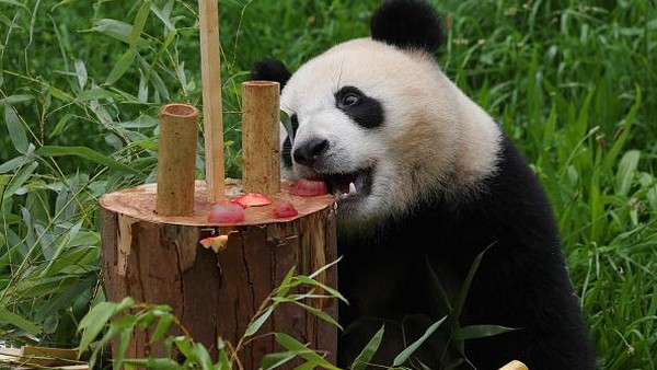 Orang tua Piet dan Paule merupakan panda yang berasal dari China.