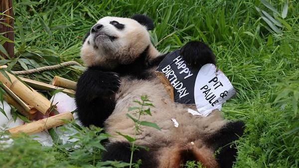 Paule, salah satu panda kembar di Zoo Berlin, memegang papan tanda selamat ulang tahun untuk dia dan saudaranya Pit di Kebun Binatang Berlin, Jerman, Selasa (31/8/2021) waktu setempat.