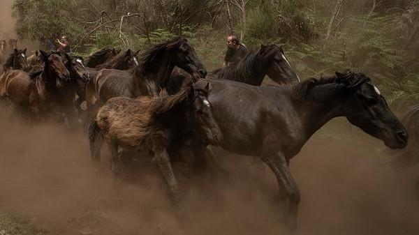 Setelah kuda-kuda berhasil dipotong rambutnya, mereka akan dilepas kembali ke alam liar.