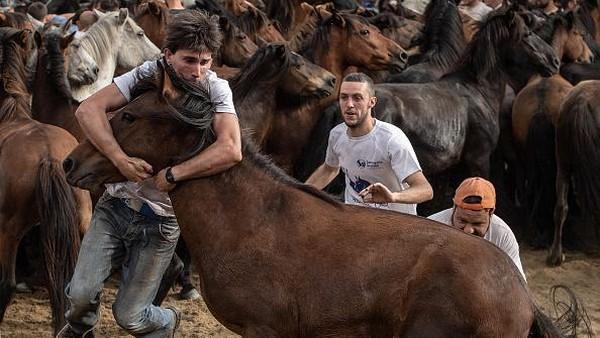 Seorang aloitador (petarung) mencoba menjinakkan kuda liar selama acara tradisi Rapa Das Bestas di Pontevedra, Spanyol.