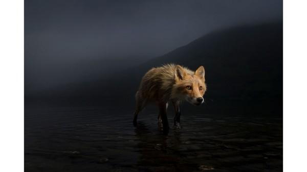 Fotografer AS, Jonny Armstrong, menangkap momen rubah ini mencari bangkai salmon di Alaska.