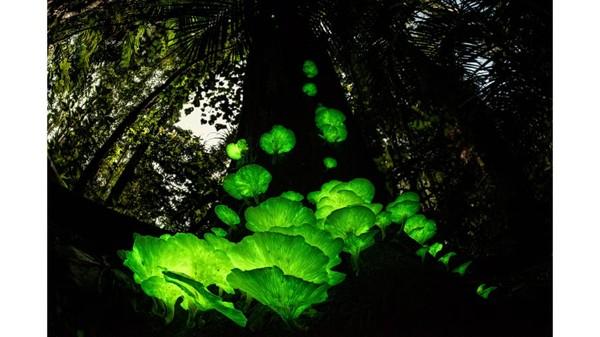 Fotografer Jerman-Australia, Juergen Freund, mengambil foto jamur hantu ini setelah hujan reda di musim hujan di dekat rumahnya di Queensland, Australia.