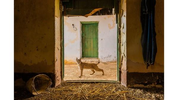 Fotografer Spanyol, Sergio Marijuán, mengambil foto Lynx Iberia tepat di tengah pintu, di rumah yang ditinggalkan di Sierra Morena.