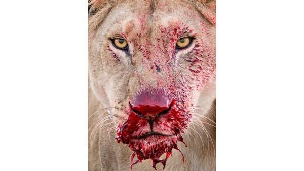 Gambar singa betinadengan darahmerah terang menetes dari moncongnya. Foto ini diambil oleh fotografer Inggris, Lara Jackson, di Taman Nasional Serengeti, Tanzania.
