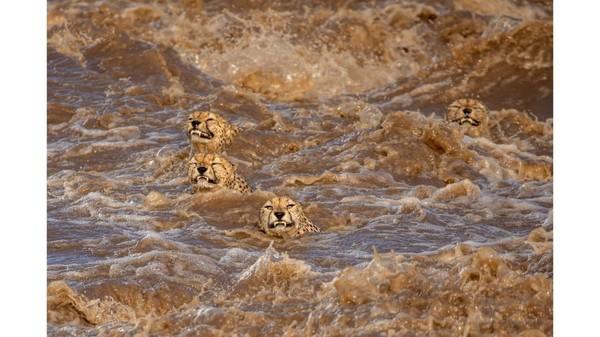 Fotografer Sri Lanka-Australia, Buddhilini de Soyza, khawatir cheetah laki-laki ini tidak akan berhasil keluar dari sungai yang sedang banjir di Masai Mara, Kenya.