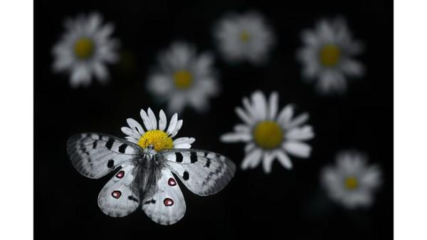 Sebuah kupu-kupu Apollo di atas bunga Daisy Oxeye di Taman Alam Regional Haut-Jura, Prancis Timur, sebagaimana difotooleh fotografer Prancis, Emelin Dupieux.