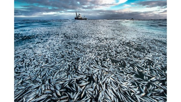 Fotografer Norwegia, Audun Rikardsen,memasukkan fotobegitu banyak ikanherring mati dan sekarat yang digunakan sebagai bukti dalam kasus pengadilan terhadap pemilik kapal penangkap ikan.