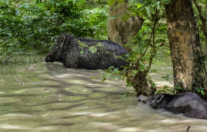 A one-horned rhinoceros wades through flood waters in Pobitora wildlife sanctuary on the outskirts of Gauhati, India, Wednesday, Sept. 1, 2021. The wildlife sanctuary in the north eastern Assam state is known for its Indian one-horned rhino population. (AP Photo/Anupam Nath)