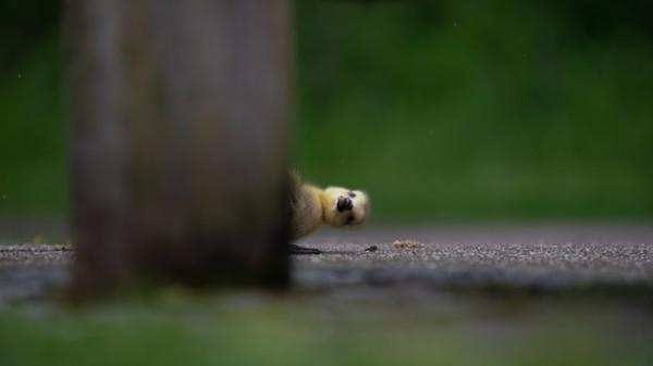 Foto karya Charlie Page. Burung gosling memutar badan hinggakebelakang di balik kaki bangku di Lee Valley Park, London, Inggris.