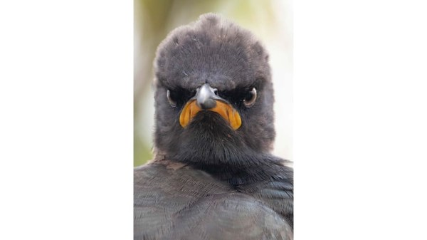 Andrew Mayes memotret burung Pied Starling di Rietvlei, Afrika Selatan. Ia sepertibaru bangun denagn mood yang kurang baik.
