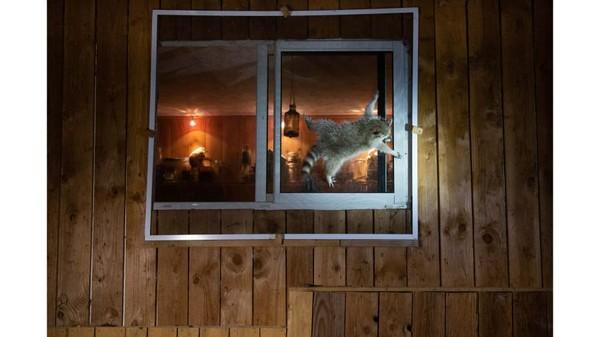 Nicolas de Vaulx memotret rakunyang berusaha masuk ke rumah-rumah di Prancis. Hewan itu ternyata sudah terkenal di lingkungannya.