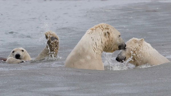 Foto karya Cheryl Strahl. Momen bomb anak beruang kutub, saat saudaranya menggelendotke indukandi Alaska Utara.