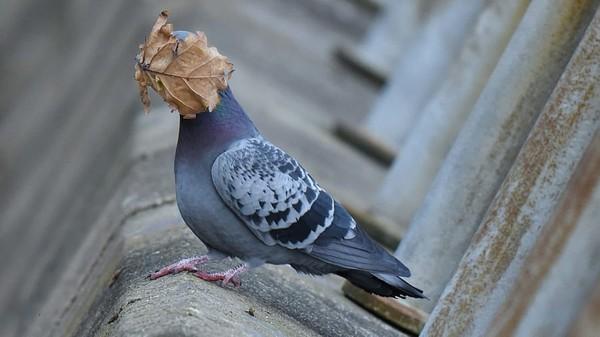Foto karya John Spiers. Burung dara di Oban Argyll, Inggris mengambil daun untuk sarang tapi malah menempel di wajah.