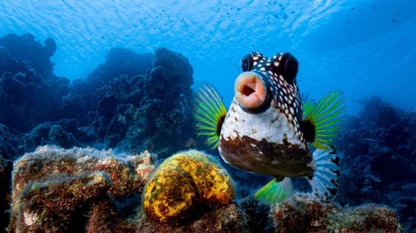 Philipp Stahr. Sebuah ikan boxfish di lepas pantai Curaçao sepertimelakukan gerak cemberutke arah kamera.