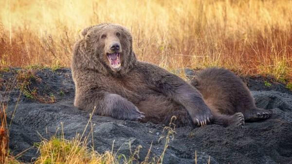 Foto karya Wenona Suydam tentang beruang cokelat. Binatang itu seperti sedang tertawa saat tiduran di pasir sebelum berbaring dan tampak tersenyumke kamera.
